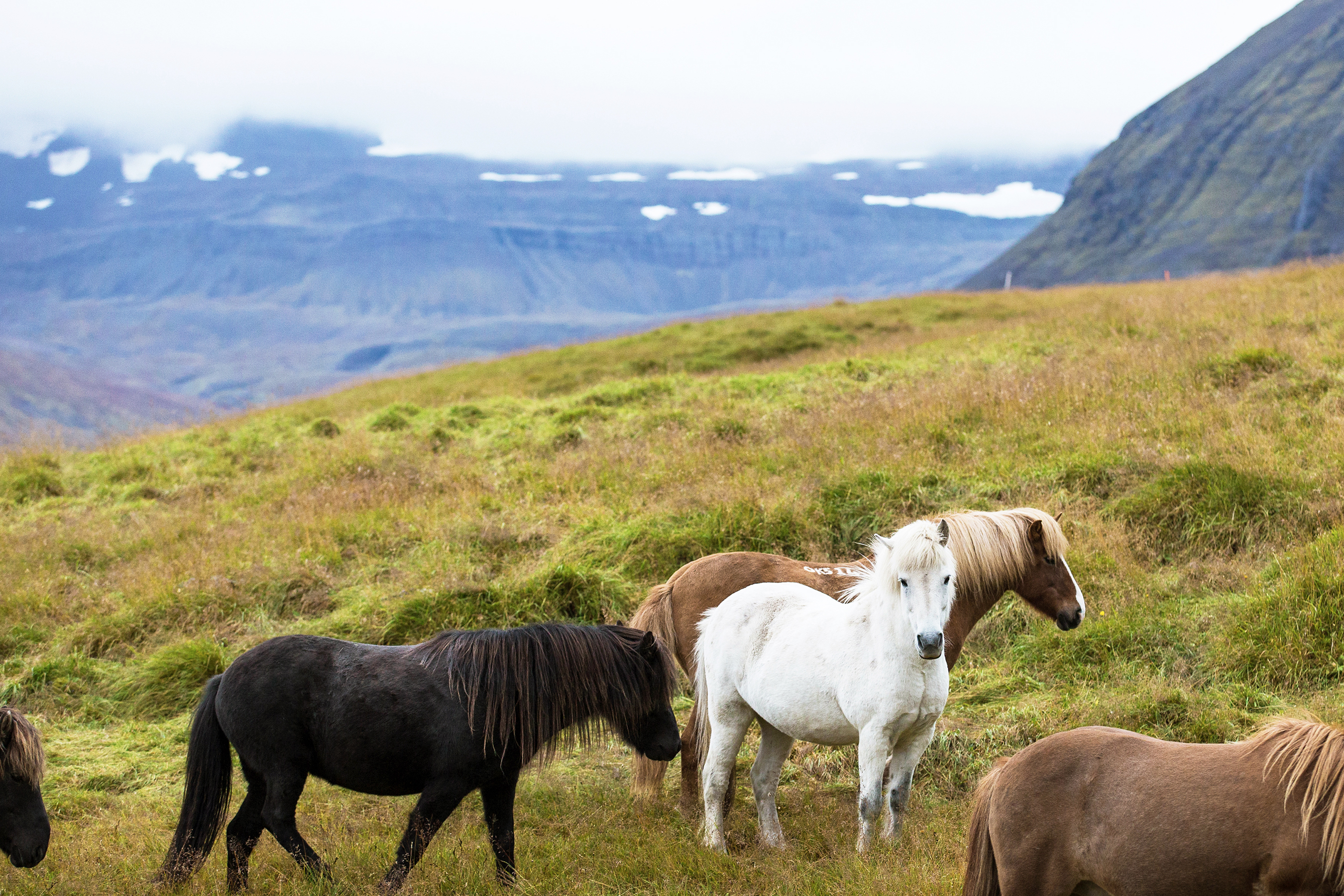 Icelandic Horses, West Fjords